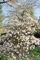 Magnolia stellata 'Centennial' in spring bloom, white flowering Star Magnolia tree, on sunny day, blue sky, entire tree and branches
