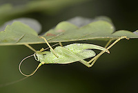 Oak Bush-cricket female - Meconema thalassinum