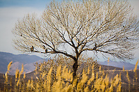 A group of Bald Eagles in a tree at Bosque Del Apache National Wildlife Refuge in New Mexico.