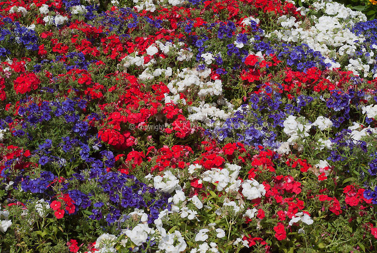 Patriotic color mix red white and blue of phlox drummondii plant phlox drummondii 21st century red 21st century white 21st mightylinksfo