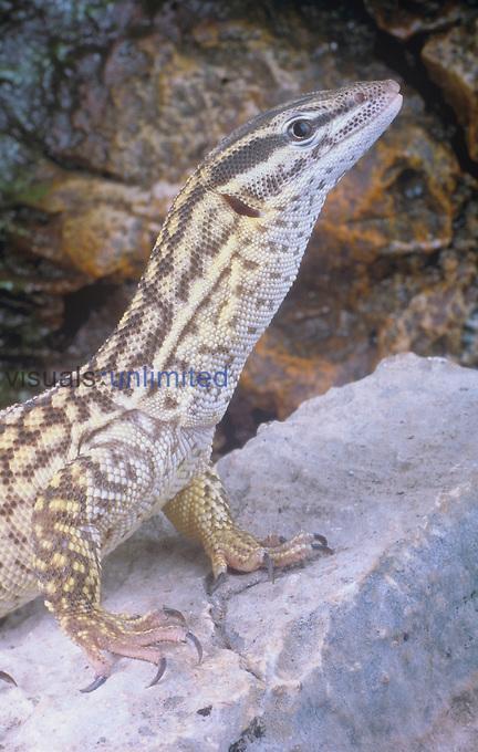 Ridge-tailed Monitor Lizard (Varanus acanthurus), Australia.