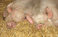 Middle White sows.
