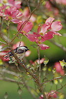 Black capped chickadee, Parus atricapillus, on a branch of pink dogwood blossoms, in spring, Missouri, USA