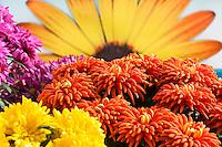 Orange Pot Mum flower, Chrysanthemum 'Durango', California Spring Trials, Sygenta