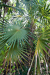 Fan Palms are native to the Mediterranean region and grows only to ten feet.