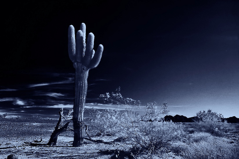 SAGUARO CACTUS STANDS ALONE IN THE SONORAN DESERT ARIZONA