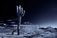 SAGUARO CACTUS STANDS ALONE IN THE SONORAN DESERT ARIZONA