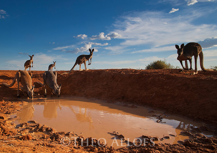 Australia,  NSW, Sturt National Park; red kangaroos drinking at shrinking water hole (Macropus rufus); the red kangaroo population increased dramatically after the recent rains in the previous 3 years following 8 years of drought