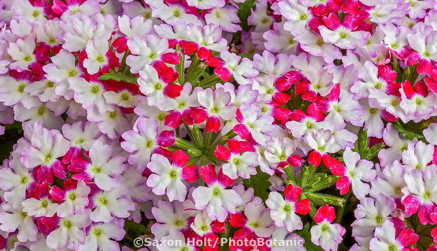 Lanai® Upright Twister™ Red, Verbena hybrida - Syngenta Flowers