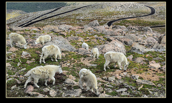 Mountain Goats graze next to the Mount Evans road, near Denver.<br />