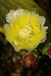 Cactus flower, Opuntia sp. Photographed in Tavernier, Florida