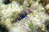Nebulous Wrasse, Halichoeres nebulosus, Gili Lawa Laut Island, north of Komodo Island, Komodo National Park, Indonesia, Indian Ocean