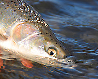 Steelhead trout from the Hoh River on Washington State's Olympic Peninsula.