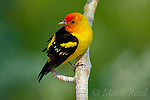CARDINALS, TANAGERS