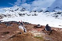 South Georgia Island, Shackleton Traverse, Gentoo penguins (Pygoscelis papua) building nests above Stromness