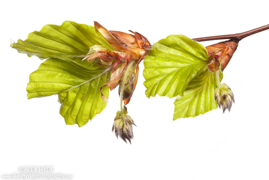 Newly emerged Beech tree leaves and flower buds {Fagus sylvatica} photographed on a white background. Peak District National Park, Derbyshire, UK. April.