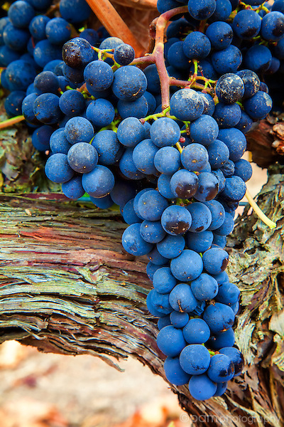 Wine grapes in fall