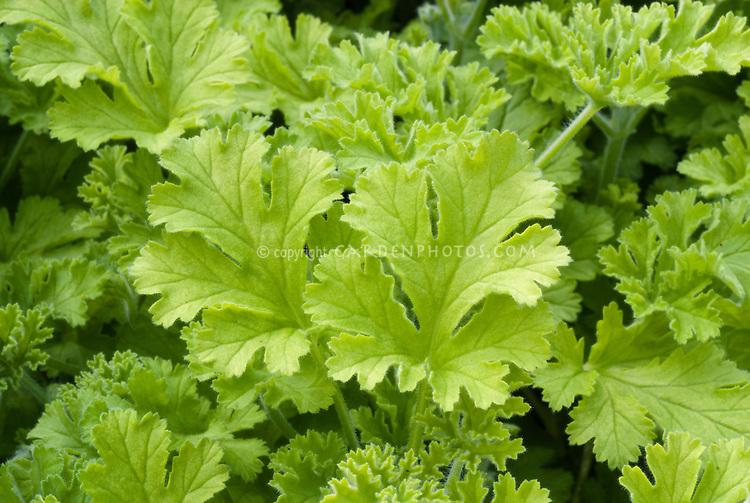 Pelargonium 'Shottesham Pet'' aka Concolor Lace, Nutmeg Scented Geranium