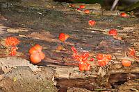 Blutmilchpilz, Blut-Milchpilz, Blutmilch Schleimpilz, Wolfsblut, auf Totholz, Lycogala epidendrum, wolf's milk, groening's slime, Schleimpilze, plasmodial slime mould, Myxogastria, myxogastrids, Myxomycota