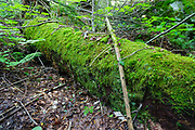 Nurse log during the summer months at Lafayette Brook Scenic Area in the White Mountains, New Hampshire USA. A nurse log is a tree that has fallen and as it decays provides support for insects and plants