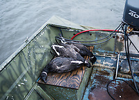 Killed brant in Cold Bay, Alaska, Wednesday, November 2, 2016. The Izembek National Wildlife Refuge lies on the northwest coastal side of central Aleutians East Borough along the Bering Sea. Birds hunted include the long tailed duck, the Steller's Eider, the Harlequin, the King Eider and Brant.<br /> <br /> Photo by Matt Nager