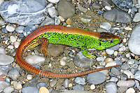 Zauneidechse, Zaun-Eidechse, Männchen, Lacerta agilis, sand lizard, Lézard des souches