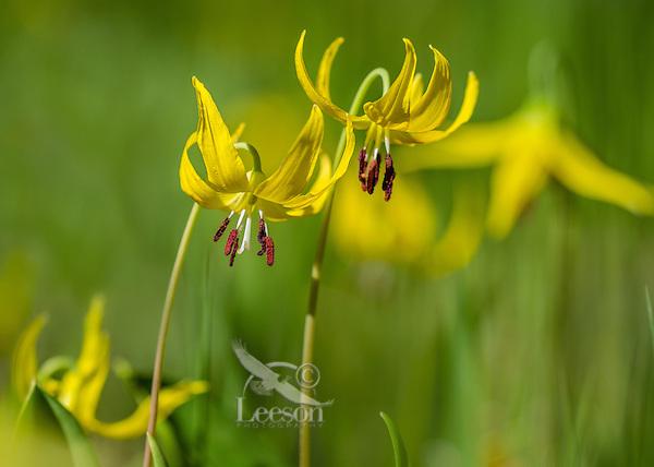 GLACIER LILY (Erythronium grandiflorum), Wyoming, June.