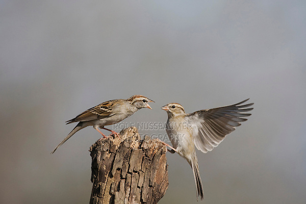 Chipping Sparrow (Spizella passerina), adults fighting, Sinton, Corpus Christi, Coastal Bend, Texas, USA
