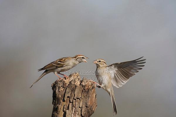 Chipping Sparrow (Spizella passerina), adults fighting, Sinton, Corpus Christi, Coastal Bend, Texas, USA