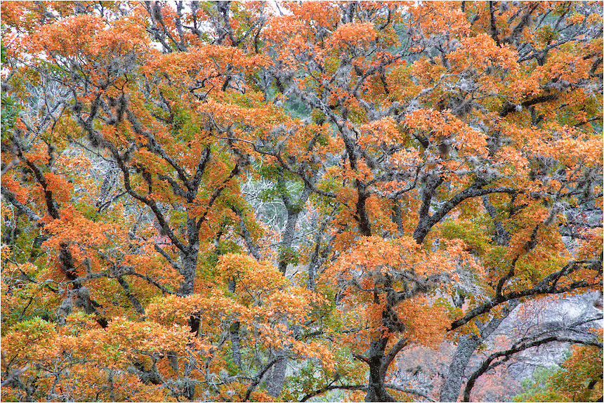 Using a zoom lens, I focused this photograph on the colors of changing maples leaves in Lost Maples State Park. Located near Vanderpool, Texas, in the heart of the Hill Country, you'll find the hiking and exploring quite enjoyable on cool crisp days in November.