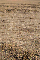 Laid Winter wheat <br /> ©Tim Scrivener Photographer 07850 303986<br />      ....Covering Agriculture In The UK....