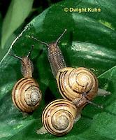 1Y08-140z  Snail, east coast land snail, Sephia hortensis