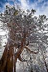 Lake Tahoe Snow covered Cedar Tree.