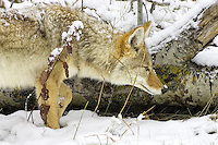 Coyote waiting for a vole to make its last mistake