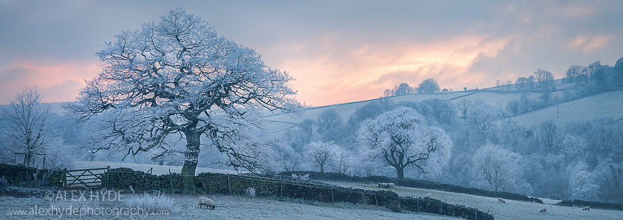 Oak tree coated in thick hoar frost near Froggatt, Peak District National Park, Derbyshire, UK. December.