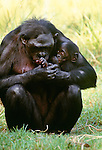 Bonobo or pygmy chimpanzee with infant. (captive)