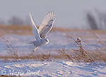 Snowy Owl (Nyctea scandiaca), adult taking flight in snow-covered field, Seneca County, New York, USA. WILD BIRD: not baited or called in.