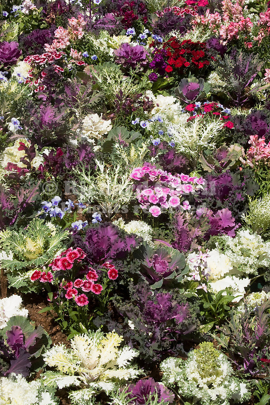 DISPLAY OF FLOWERING KALE, DIANTHUS, PANSY IN PACK TRIALS.