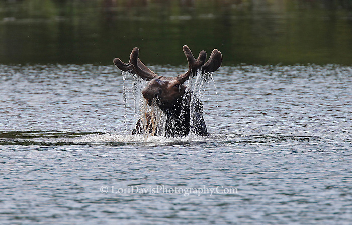 Bull Moose, Water Dripping from Antlers  #M68