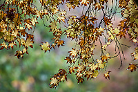 Autumn leaves, San Francisco Botanical Garden