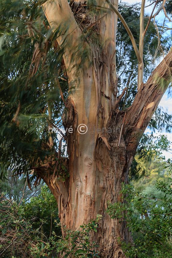 Domaine du Rayol en novembre : tronc de gommier bleu, Eucalyptus globulus