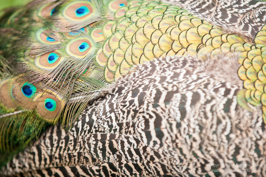 Las Terrazas, Cuba; detailed view of the tain feathers of a peacock on the grounds at Las Terrazas, peacocks are male peafowl birds
