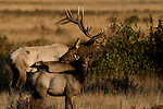 American elk, wapiti, Cervus elaphus, October, fall, autumn, morning, Moraine Park, Rocky Mountain National Park, Colorado, USA