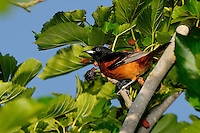 Orchard Oriole, Rockport, Texas
