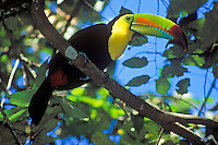 Keel-billed Toucan at the Lamanai, Belize, Central America