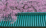 Cherry blossoms over a green tile roof, Kyoto, Japan