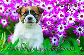 Xavier, ANIMALS, REALISTISCHE TIERE, ANIMALES REALISTICOS, dogs, photos+++++,SPCHDOGS1015,#a#, EVERYDAY