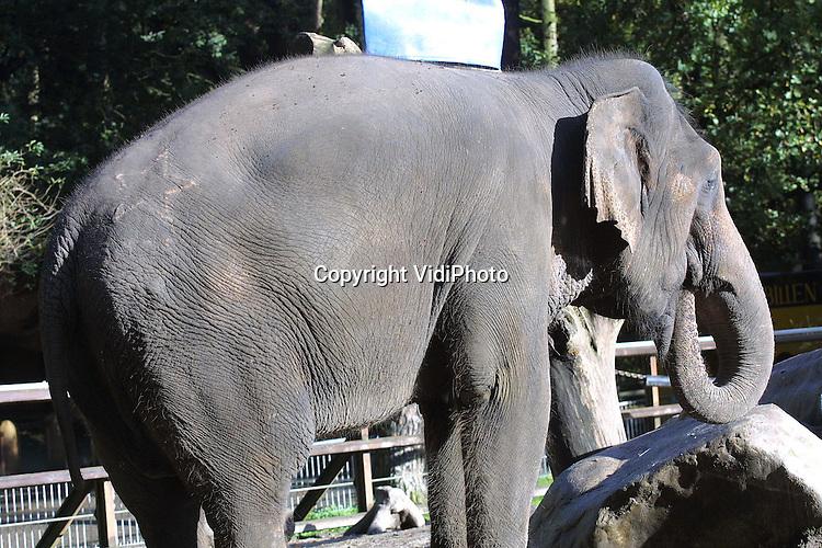 Foto: VidiPhoto..AMERSFOORT - Teleurstelling in Dierenpark Amersfoort: de olifant Winthida is niet zwanger. Lijfelijk contact met de mannetjesolifant Alexander in Diergaarde Blijdorp, in oktober vorig jaar, heeft niet het gewenste resultaat opgeleverd. Binnenkort wordt een nieuwe poging ondernomen. Als Winthida zwanger zou raken is dat voor het eerst in tien jaar. De 34 jaar oude olifant is een opvallende verschijning in het dierenpark door een brandmerk op haar achterwerk in de vorm van een ster. Dat is er ingetatoueerd toen ze nog in de bosbouw werkte, samen met 4500 andere olifanten van de Birmeese regering.