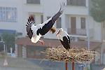 White Stork Bringing Nest Material To Mate