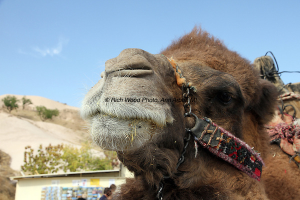Closeup of a camel's head and snout in Turkey